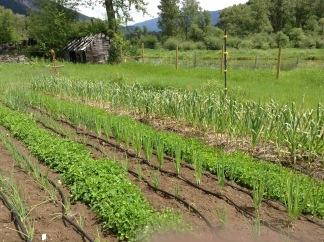 veg crop
